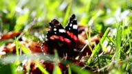 Close up of a Admiral butterfly feeding on the rotting apple video