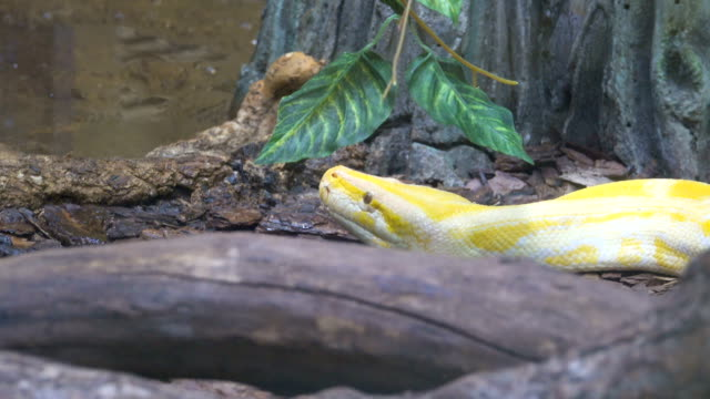 Close up of a albino Burmese python with its pink tongue showing video