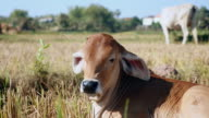 Close up of a baby cow lay down in a field video