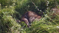 Close up of a buffalo calf sleeping in the grass video