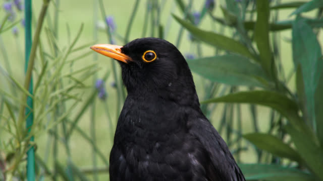 Close up of a common male blackbird video