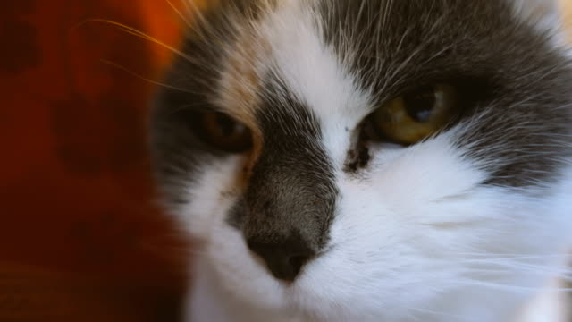 Close up of a cute domestic old cat video