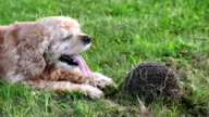 Close up of a dog and curled up hedgehog lying on the grass video