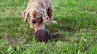 Close up of a dog barking at hedgehog and and pushing it video