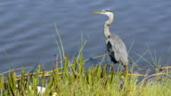 Close Up of a Large Heron and Blue Water video