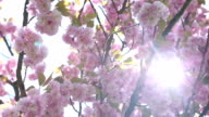Close up of a pink blossom video