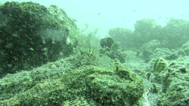 Close up of a reef stonefish off the coast of Cape Verde video
