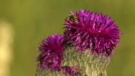 Close up of a Thistle flower, Landing honey bee video