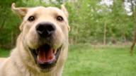 SLO MO Close up of a yellow labrador retriever video