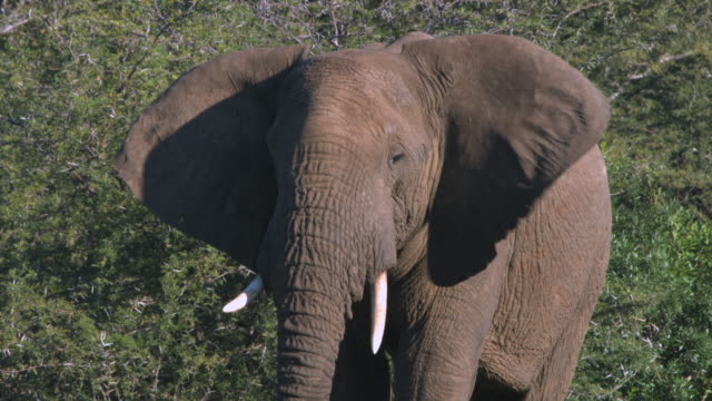 Close up of African Elephant flapping it's ears. video