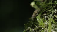 Close up of an insect camouflaged among the leaves, and eating moss video