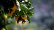 close up of an orange tree video