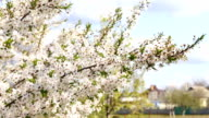 Close up of apricot blossoming video