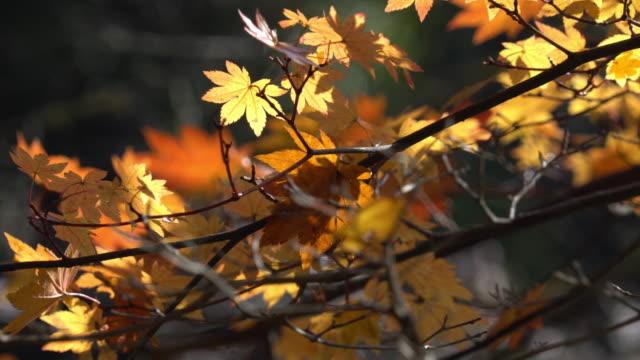 Close up of autumn leaf lighted up by sunshine in Obara, Nagoya, Japan. video