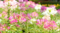 Close up of beautiful Cleome Spinosa video