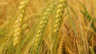 HD: Close Up Of Beautiful Golden Barley video