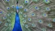 Close up of beautiful peacock with green and blue feather video