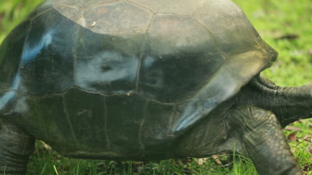 Close up of big turtle walking in the grass, profile shot video