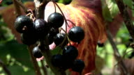 Close up of black current bush with berries video