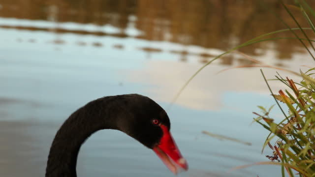 close up of black swan eating video