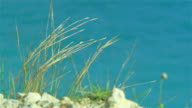 Close up of blade of grass dried with the sea on background video