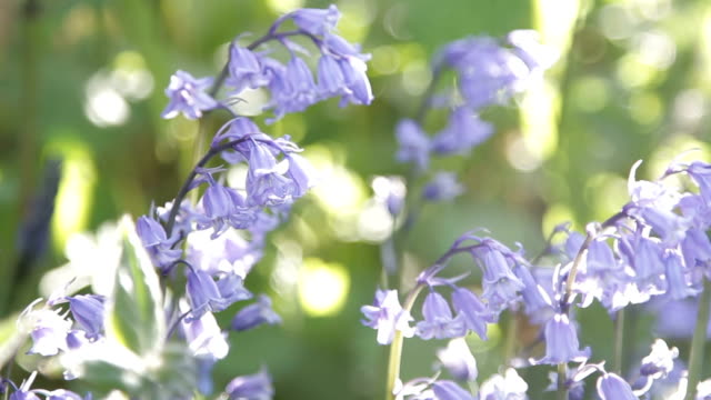 Close up of blooming bluebell flowers blowing in the wind video