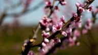 Close up of blossom of peach tree branch video