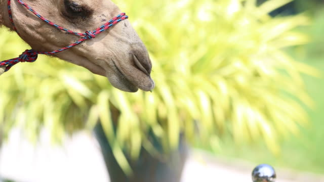 Close up of Camels eat from hand in thailand zoo video