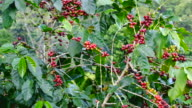 Close up of coffee bean on coffee tree at Chiang Mai, Thailand video
