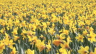Close up of daffodils in a field. Lincolnshire U.K video