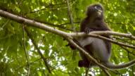 Close up of Dusky leaf monkey, Langur on Tree Eating Green Leaves, Railay, Krabi, Thailand video
