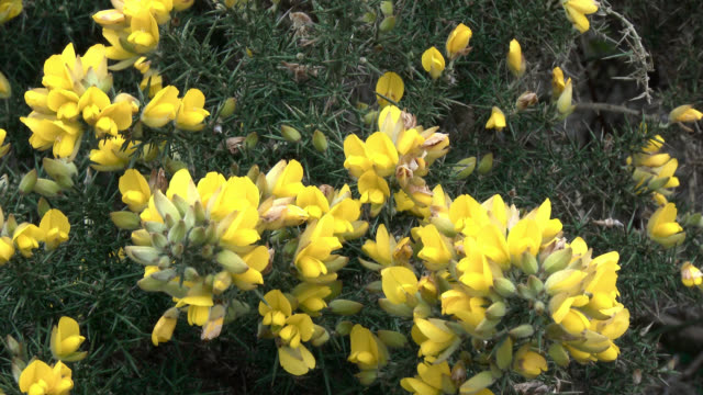 Close up of gorse bush in rural Dumfries and Galloway video