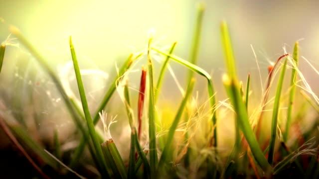 Close up of Grass in wind. HD video