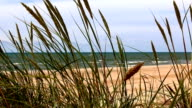 Close up of grass in wind on a seashore video