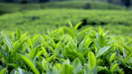 Close Up of Green Tea Leaves video