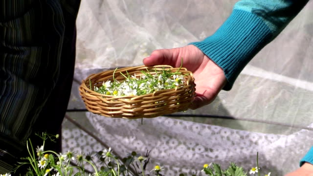 close up of hand pick medicinal camomile flower in wicker plate video
