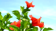 close up of hibiscus flower video