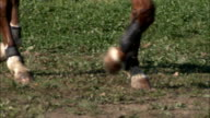 Close up of HORSEs legs WALKING BY video