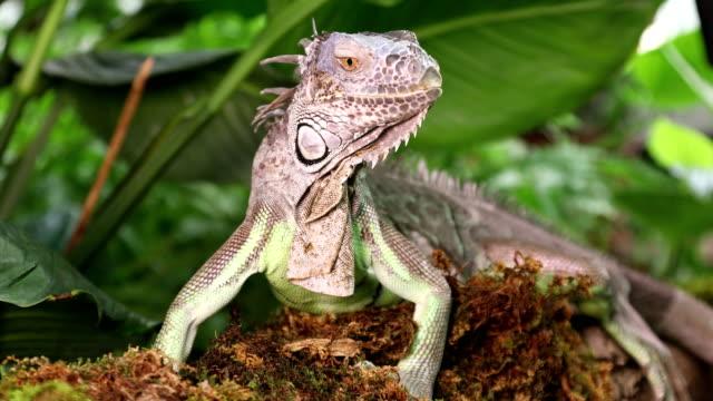 Close up of large Green Iguana video