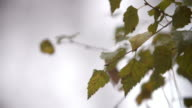 Close Up Of Leaves On Tree In Autumn Woodland video