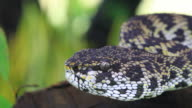 Close up of Mangrove Pitviper snake video