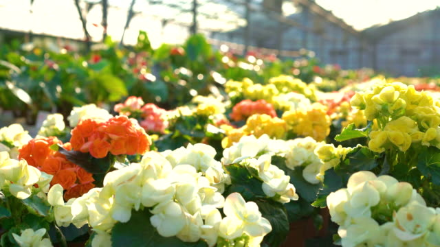 Close up of many flowers in gardenhouse FullHD video