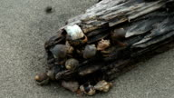 Close up of many Hermit Crab video