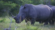 Close up of one rhino standing in grass video