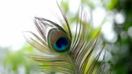 Close Up Of Peacock Feather video