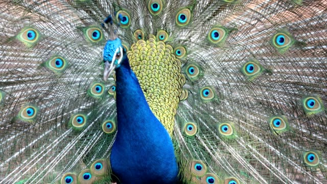 Close up of peacock showing its beautiful feathers video