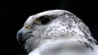 Close up of Peregrine Falcon dark background video