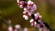 Close up of pink blossom of peach  tree video