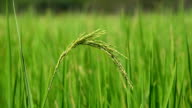 close up of rice spike in rice field video