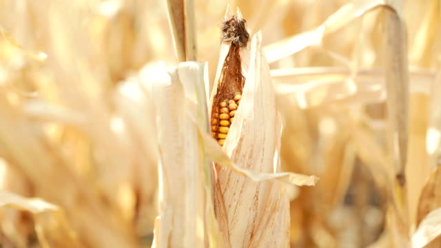 Close up of ripe corn cob on the field. FullHD video
